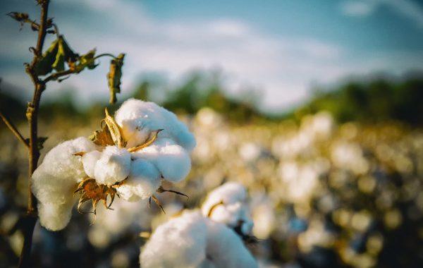 Cotton Plantation in Alabama