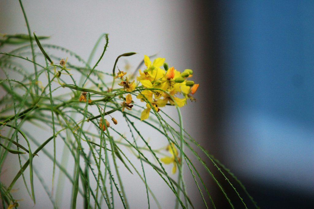 Palo verde flowers